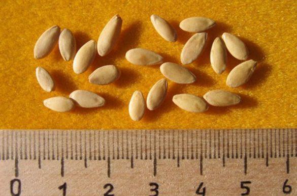 калібрування насіння